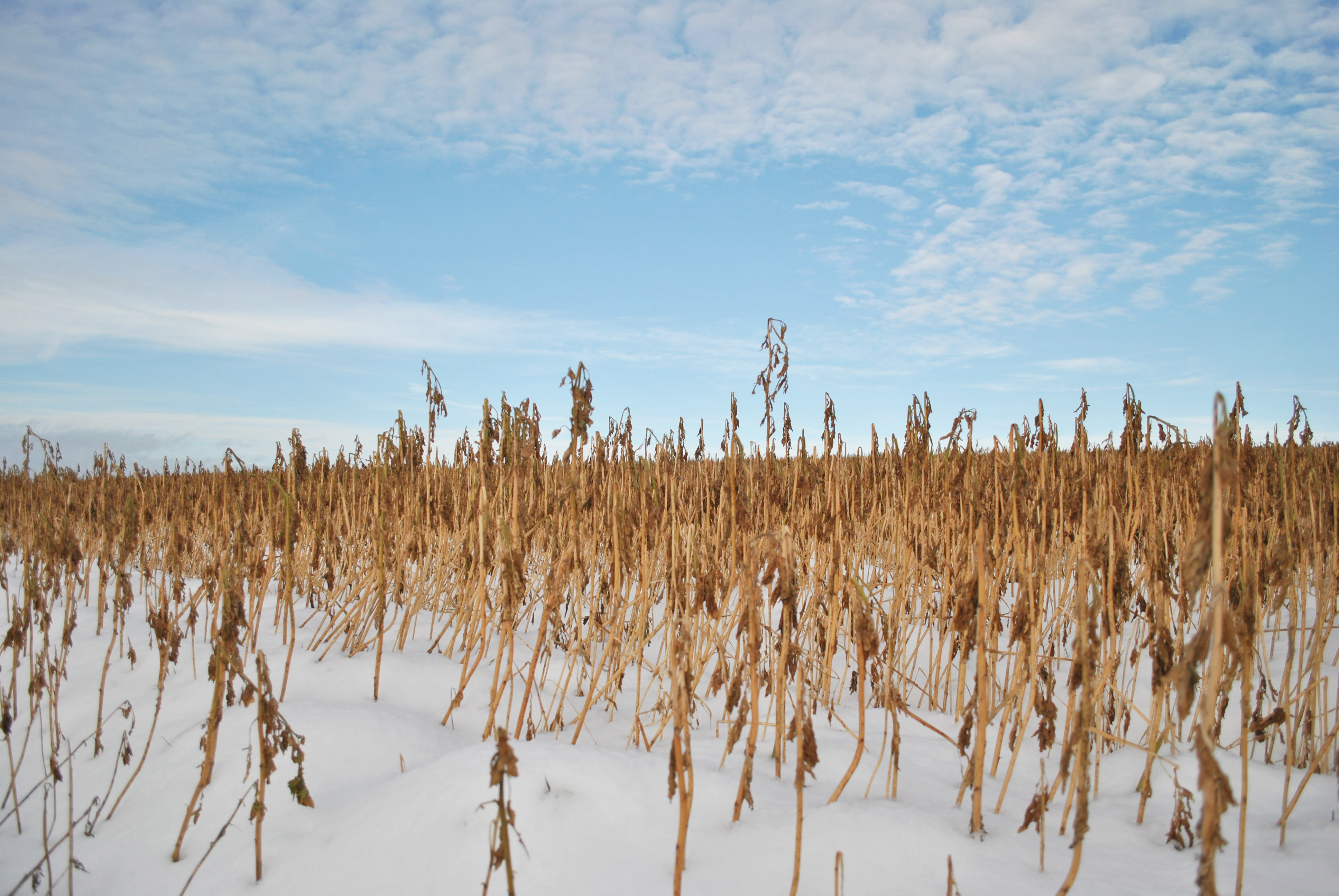 Cover crops left over winter in a field stick up above the snow.