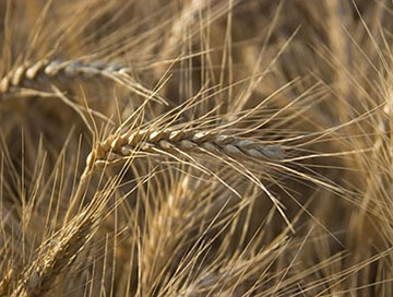 Photograph of wheat, close-up