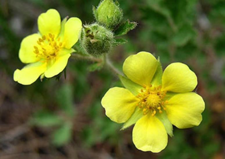 Photograph of yellow flowere, close-up, green background