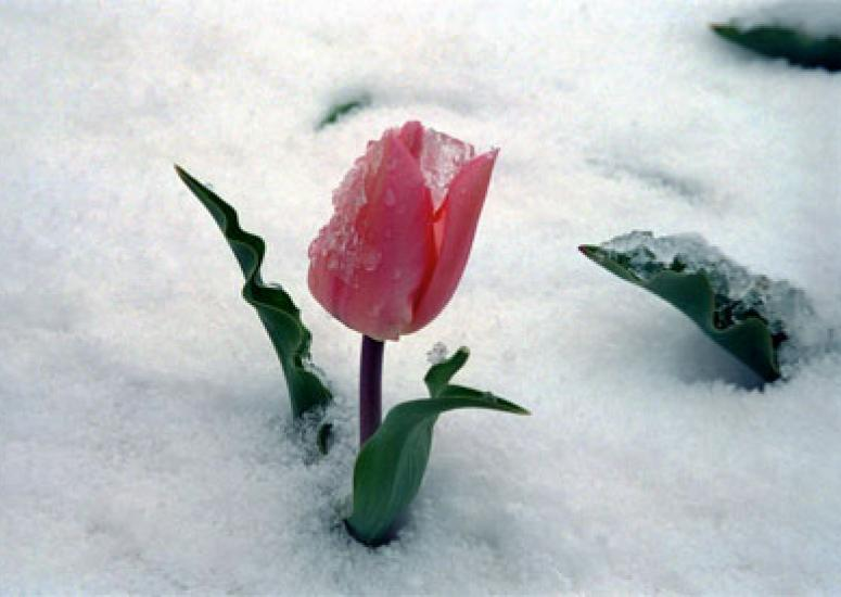 Photograph of ping Tulip in the snow
