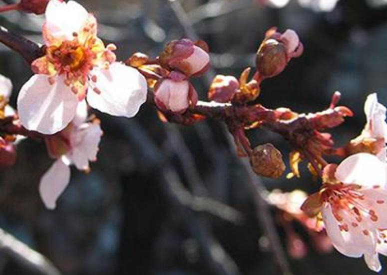 Plum blossums opening on a branch