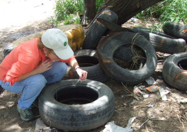 Scientist checks tires for mosquito breeding sites